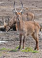 Waterbucks (Kobus ellipsiprymnus) male (32988430832).jpg