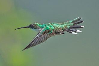 White-throated hummingbird - Image: Weißkehlkolibri