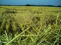 Weizen - panoramio (3).jpg