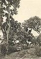 Westafrikanische Nutzpflanzen (Busse) - Tafel 28 - Schibutterbäume.jpg