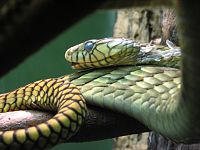 the western green mamba