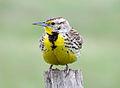 Western Meadowlark (18769025290).jpg