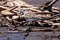 Western Sandpiper (Calidris mauri) (8079378783).jpg