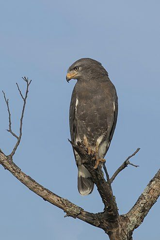 Western banded snake eagle - Matetsi Safari Area, Zimbabwe
