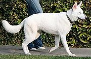 An example of a White German Shepherd walking