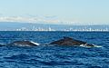 Whale watching gold coast.JPG