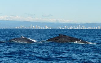 Whale watching in Australia - A couple of Humpback Whales spotted off the Gold Coast, Queensland