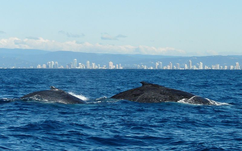 File:Whale watching gold coast.JPG