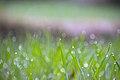 Wheat (Triticum) grass D35 2182 01.jpg