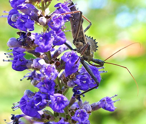 Wheel bug again (5062909714)
