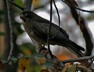 <i>Butastur</i> genus of birds