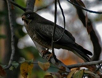 Butastur - in Kawal Wildlife Sanctuary, India.