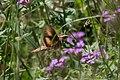 White-lined Sphinx Moth Greenhouse Trail Portal AZ 2018-09-07 11-24-58 (45666662511).jpg