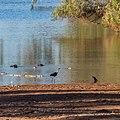 White-necked heron Burke River Boulia Queensland P1030519.jpg