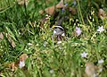 White-throated Sparrow (works? take two) (32274765190).jpg