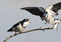White-throated Swallow, Hirundo albigularis at Marievale Nature Reserve, Gauteng, South Africa (9700141909).jpg