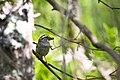 White-throated sparrow (27395124663).jpg