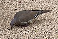 White-winged Dove 2 (4377365252).jpg