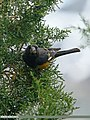 White-winged Grosbeak (Mycerobas carnipes) (21922574288).jpg