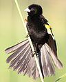 White-winged widowbird, Euplectes albonotatus, at Zaagkuildrift Road near Kgomo Kgomo, Limpopo, South Africa (31463700311).jpg