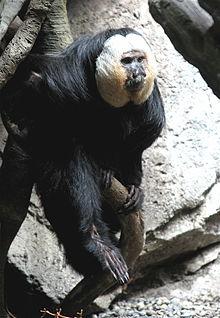 Pitheciidae