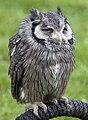 White Faced Scops owl (4571082914).jpg