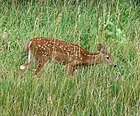 White tailed deer Nebraska.jpg