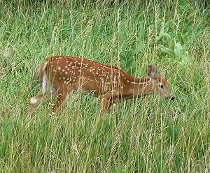 Young White-tailed deer with spotting.