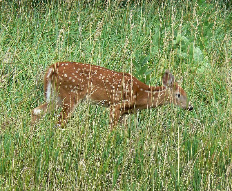 White tailed deer Nebraska.jpg