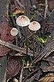 Wielangta Unidentified Fungus 5311.jpg
