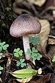 Wielangta Unidentified Fungus 5380.jpg