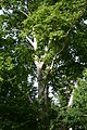 Wiener Naturdenkmal 564 - Platane (Innere Stadt) e.JPG
