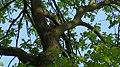Wiewiórka-Eichhörnchen - panoramio.jpg