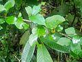 Wild fruits, modhupur reserve forest.jpg