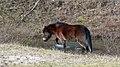 Wilde Exmoor pony in het bos.jpg