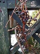 Wilder Wein Beeren.JPG