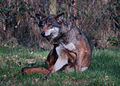 Wolf 01.jpg