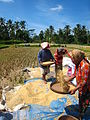 Woman winnowing rice in Bali.jpg