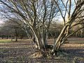 Woodlands north of Monken Hadley Common bridle path 05.jpg