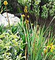 X Aloe commixta in Kirstenbosch fynbos rocky scrub 6.jpg