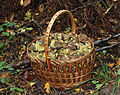 Xerocomellus chrysenteron, Edible fungi in basket 2013 G1.jpg