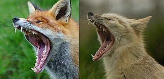 Red fox - Red fox (left) and corsac fox (right) yawning