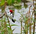 Yellow-billed Cardinal (Paroaria capitata) (28267433934).jpg