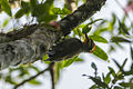 Yellow-browed Woodpecker - Intervales NP - Brazil S4E9986 (12900684644).jpg