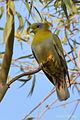 Yellow-footed Gren Pigeon.jpg
