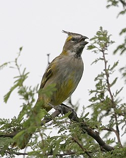 Yellow Cardinal (Gubernatrix cristata) - Flickr - Lip Kee.jpg
