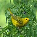 Yellow Warbler (7098681363).jpg