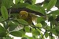 Yellow Warbler (male) Sabine Woods TX 2018-04-22 13-27-53 (41991993681).jpg