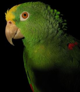 Yellow naped amazon parrot left side.jpg