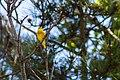 Yellow warbler (34681653633).jpg